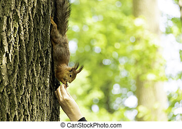 Squirrel on a tree. Red squirrel eats nuts from a human palm.