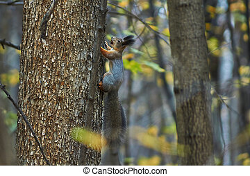 Squirrel on a tree trunk in the autumn forest.