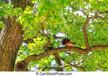 Squirrel on branch of oak tree