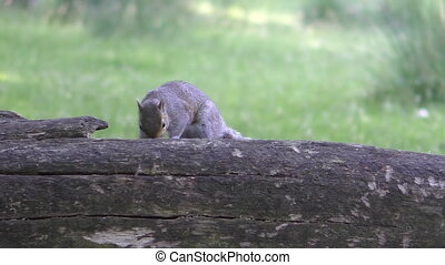 Squirrel on old tree trunk - Gray grey squirrel jumps on the...