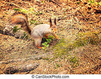 Squirrel on the forest ground.