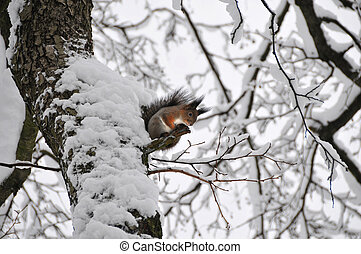 Squirrel on the tree in Winter
