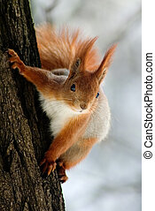 Red squirrel hanging on the tree stem