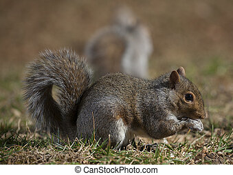 Squirrel pair