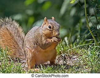 Squirrel - Fox squirrel (sciurus niger) eating