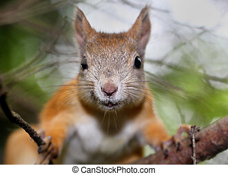 Squirrel portrait with a free space