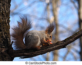 Squirrel red eating the apple at the tree