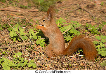 Squirrel red fur funny pets spring forest on background wild...