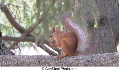 Squirrel eating a nut on the pine branch on a sunny morning