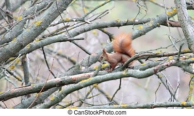 Squirrel sits on a leafless branch and looks and then runs away (Sciurus)