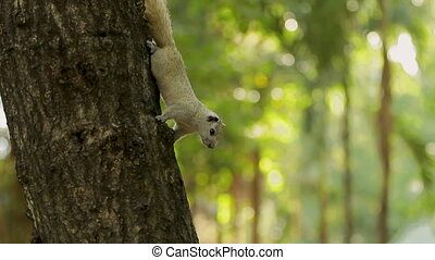 Squirrel sits upside down on a tree trunk. Lumpini park,...