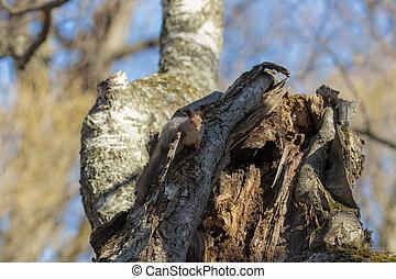 squirrel sitting on a birch