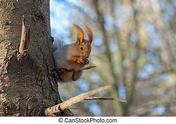 Squirrel sitting on a small branch and eating walnut