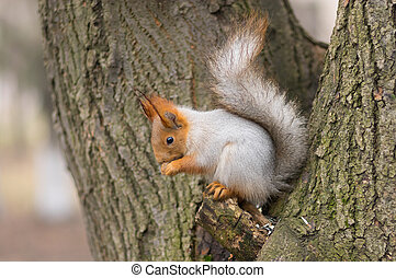 Squirrel sitting on a tree and eating