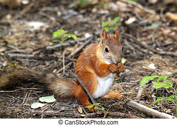 Squirrel sitting on the ground and eats a nut