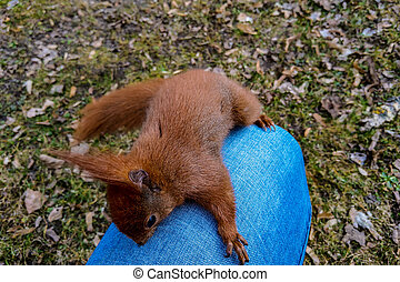 Squirrel sitting on the knee of a man in the park.