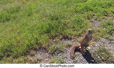 squirrel South Africa - African squirrel in Mountain Zebra...