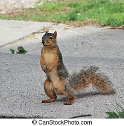 Squirrel Standing Tall
