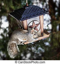 Squirrel stealing from bird feeder - Gray squirrel sitting...