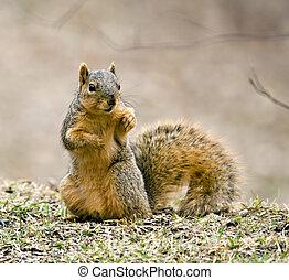 Squirrel - Fox squirrel (sciurus niger) sitting up on the...