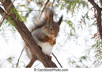 Squirrel tree in winter