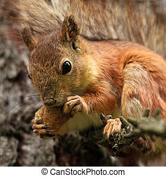 red squirrel on branch eating bread crust