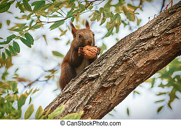 Squirrel with Walnut - Squirrel Sitting on a Tree and Eats a...