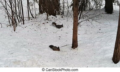 squirrels run in the winter wood