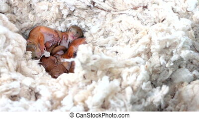 Squirrels sleep in the nest - nest of wild squirrels, which...