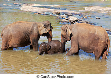 sri lanka, elefant