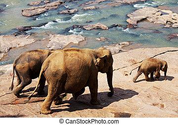 sri lanka, elefanten