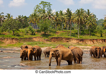sri lanka, elefanti