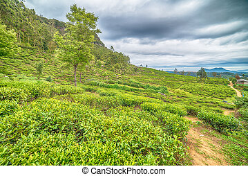 Sri Lanka: highland tea plantations in Nuwara Eliya