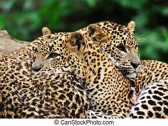 sri lanka, léopard