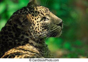 sri lanka, leopard