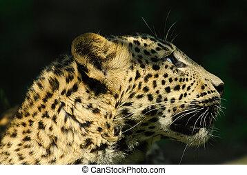 sri lanka, luipaard