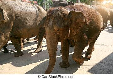 sri lanka, pinawella, cattery., a, herde elefanten, führen, entlang, a, engen straße