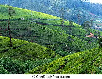 Sri Lanka - Beautiful highland tea plantations in Sri Lanka