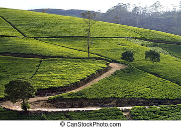 Sri Lanka tea garden mountains in nuwara eliya