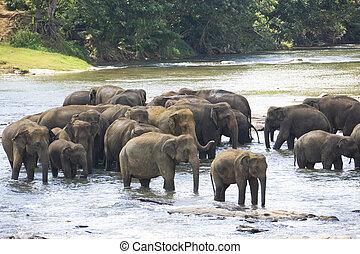 Sri Lankan Elephants in Water - Image of elephants bathing...