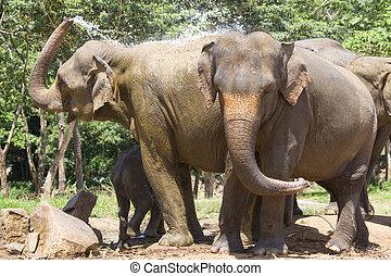 Sri Lankan Elephants - Image of elephants at...
