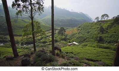 Sri Lankan Hillside Tea Plantation from Elevated Perspective...