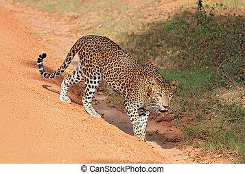 Sri Lankan Leopard (Panthera Pardus Kotiya), Yala, Sri Lanka