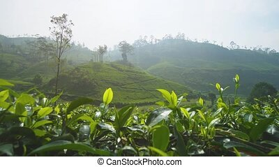 Sri Lankan Tea Farms on Steep, Hilly Terrain. 1080p footage...
