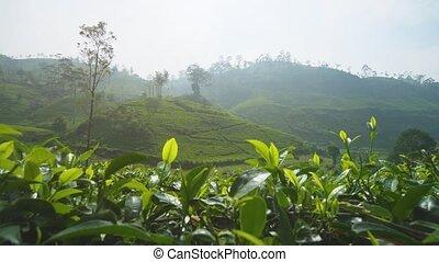 Hillside in Sri Lanka, covered in neat rows of tea bushes, on a farm near Nuwara Eliya. 4k footage