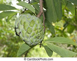 Srikaya fruit, Annona squamosa, growing on tree, Indonesia,...