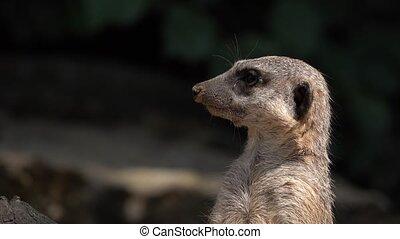 ssak, meerkat, zwierzę
