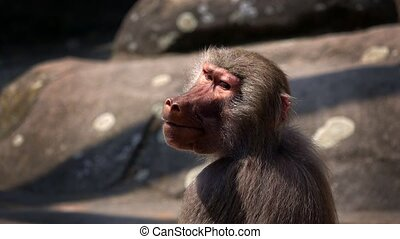 ssak, szympans, zwierzę
