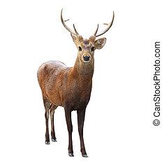 stående, ansikte, av, vildmark, hjort, med, vacker, horn,...