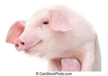 stående, av, a, gris
